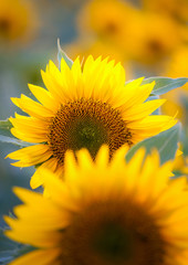 Close up of sunflower in the fields