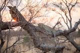 Leopard at Sundown - 175068227