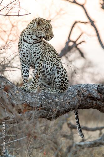 Fototapeta Leopard in the Tree