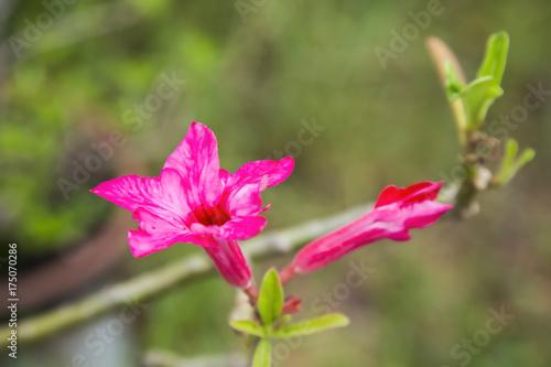 Fotobehang Azalea Pink azalea flowers are blooming.