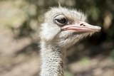 ostrich - 175073438