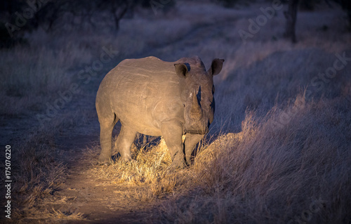 Aluminium Neushoorn White Rhino at Night