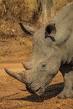White Rhino  - 175076689