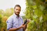 Man in the vineyards picking vine grapes - 175077407
