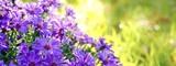 Blumen im Herbst - Astern im Sonnenlicht
