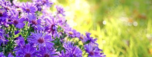 Fridge magnet Blumen im Herbst - Astern im Sonnenlicht