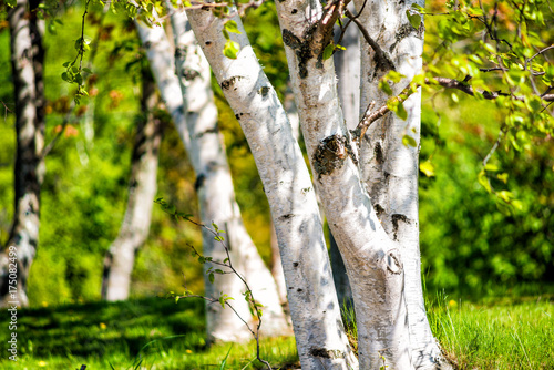 Papiers peints Bosquet de bouleaux Closeup of many green birch trees grove with leaves in summer in park Quebec, Canada