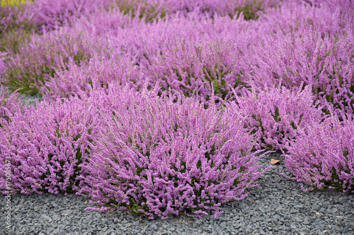 pole-rozowe-kwiaty-wrzos-ziolo