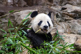 giant panda while eating bamboo - 175090099