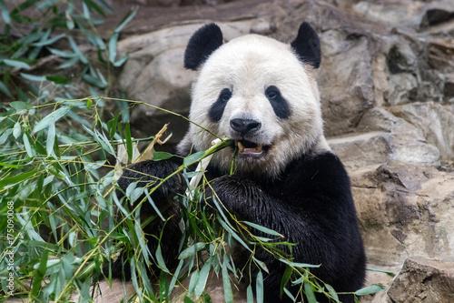 Fotobehang Panda giant panda while eating bamboo