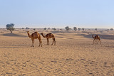 camels in the desert - 175098673