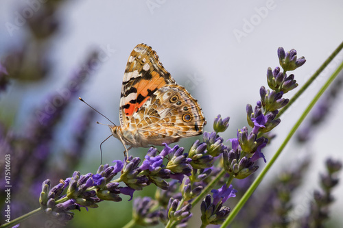 Fotobehang Lavendel Farfalla su lavanda