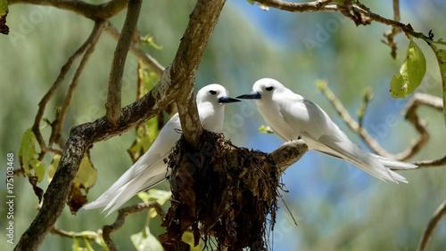 Sterne blanche ou sterne paradis ou sterne d'ange ou stupide blanc ou gogos Alba, île Cousin, Seychelles, série