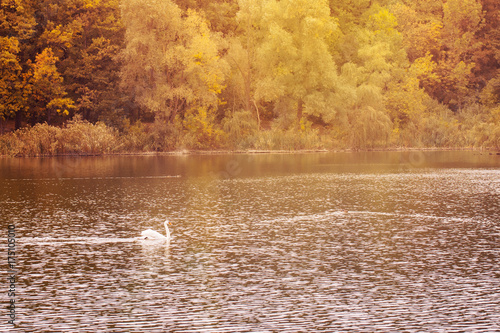 Fotobehang Zwaan swan swims along the autumn pond against the background of a dense forest