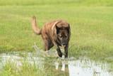 Large Dutch Shepherd Dog walking through water in a green field - 175105489