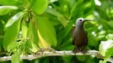 Noddi brun ou Anous Stolidus ou Macoua, île Cousin, Seychelles, série - 175109488