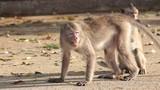 Monkeys and Baby Macaque monkey - 175111603