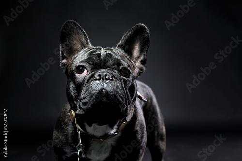 Papiers peints Bouledogue français French bulldog with plain background