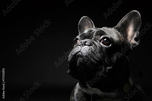 Poster Franse bulldog French bulldog with plain background