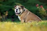 English Bulldog in park