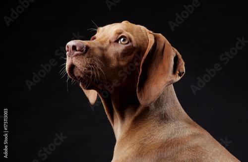 Fototapeta Hungarian hunter dog in studio