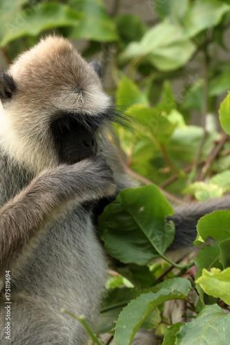 Fotobehang Aap Die Hanuman Languren von Sri Lanka