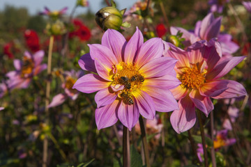 Dahlias in a autumn garden