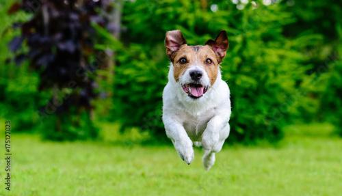 Dog jumping straight forward at camera playing at green lawn