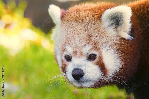 Fotobehang Panda Roter Panda 1