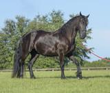 Friesian horse mare  - 175144030