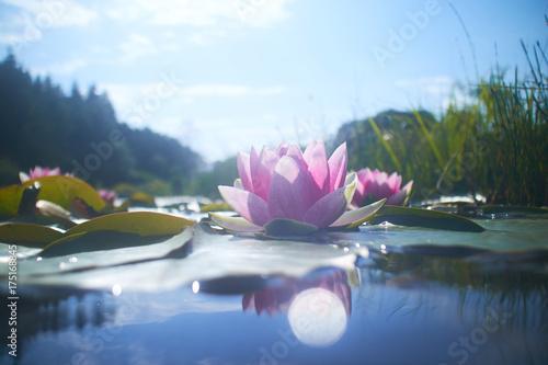 Lotus flower in pond wall mural wallpaper muraledesign lotus flower in pond mightylinksfo