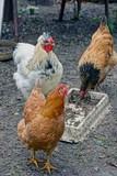 Курица коричневая и белый петух в курятнике у миски с кормом на земле - 175170687