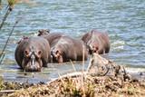 Hippo in Kenya - 175171226