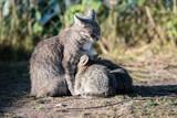 Grey cat feeding three kittens