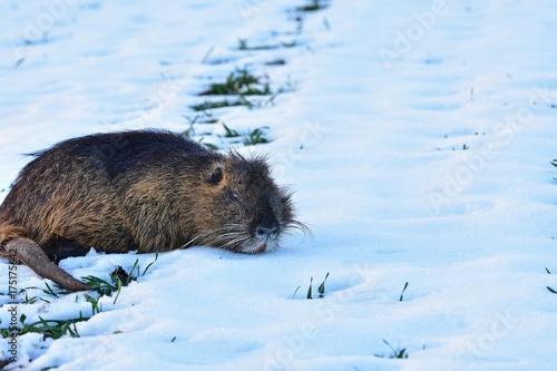 ein Nutria im Schnee Poster