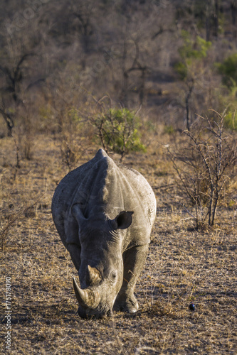 Aluminium Neushoorn Southern white rhinoceros in Kruger National park, South Africa