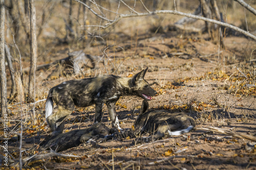 African wild dog in Kruger National park, South Africa Poster