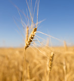 Yellow ears of wheat against the blue sky - 175180648