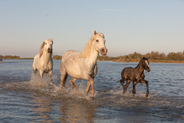 Wild Horses of Camargue France running with Baby Foal