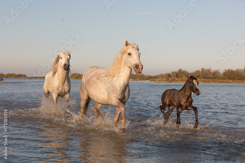 Wild Horses of Camargue France running with Baby Foal Poster