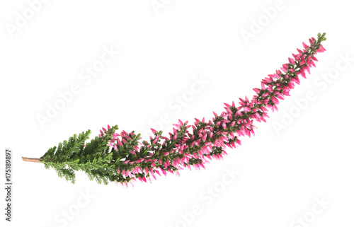 Calluna  flowers ( Calluna vulgaris )