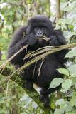 A wild mountain gorilla in the jungle of Rwanda, Africa - 175190069