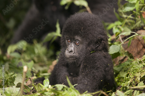 Mountain Gorilla in Volcanoes National Park, Rwanda Poster
