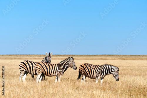 Three zebras in the savannah