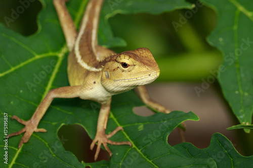 Fotobehang Kameleon Image of chameleon on a green leaf. Reptile