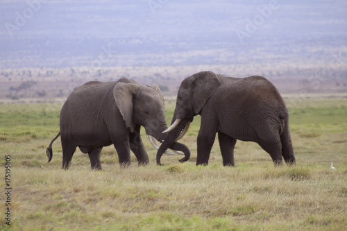 Kämpfende Elefanten, Jungtiere, (Loxodonta africana), Amboseli Nationalpark, Ken Canvas Print