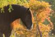 Shirehorse im Abendlicht - 175200804