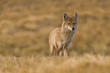 Coyote on the Prairies in Autumn