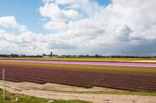 Fotobehang Tulpen Field of tulips in the Netherlands in the spring