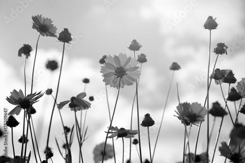 czarno-biale-kwiaty-coreopsis